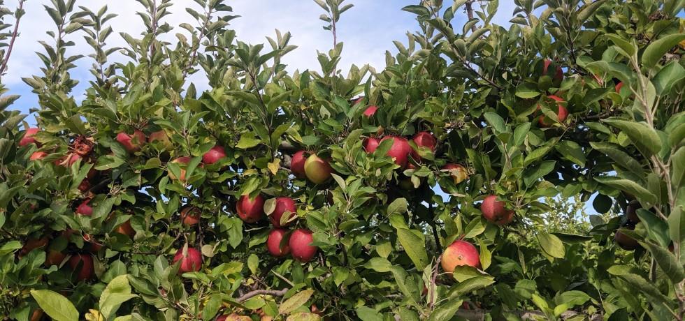 Larriland Farm Maryland Apple Picking